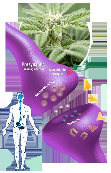 Herbalist Oils Full Spectrum CBD Review 10
